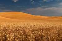 Petersheim_Images_pi_20110829_Palouse_Wheat_1